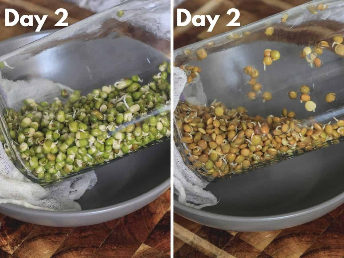 Jars of sprouts tilted in bowl on day 2