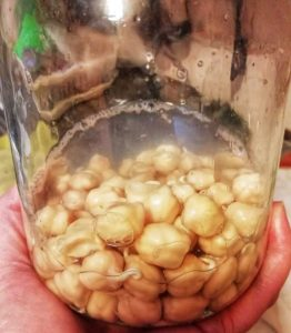 Chickpeas sprouting in glass jar. Small tails are beginning to appear.