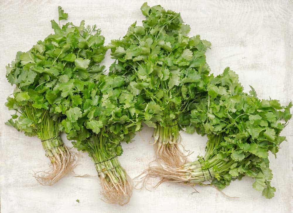 Bunches of cilantro