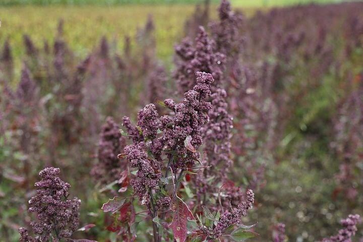 Flowering quinoa plant